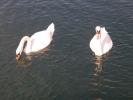 Хорватия. Национальный парк Крка. Лебеди.