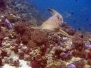 Дайвинг в Тайланде. Леопардовая акула